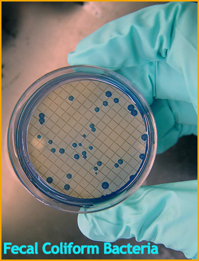 fecal coliform Fecal coliform bacterial contamination of drinking water by microorganisms and total coliforms.